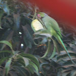 Parakeet eating a mango