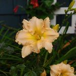 Peach Day Lily 3