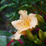 Peach Lily 4