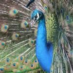 Peacock #3