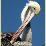 Pelican (1)