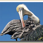 Pelican (2)