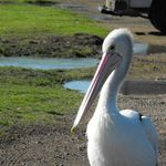 Pelican at Stockton (2)