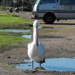 Pelican at Stockton (3)