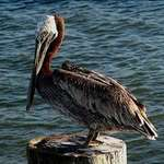 pelican on his post