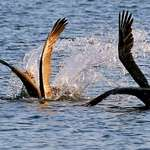 How Pelicans Fish