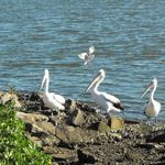 Pelicans and Seagulls at Stockton (2)
