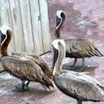 3 pelicans facing wall