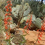 Penstemon and Beavertail Cactus
