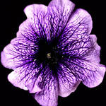 Petunia Colour Patch