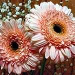 petals of a Gerbera Daisy