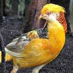 Pheasant closeup, Yellow Golden Male