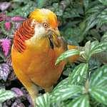 Pheasant, Yellow Golden
