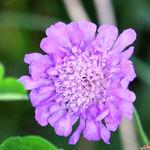 Pincushion Flower/Blue Scabiosa