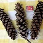 Long Pine Cones