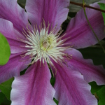 Pink Clematis Blossom 2
