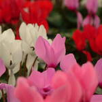 Sea of Cyclamens