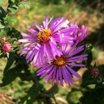 field asters