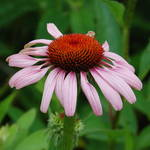 Pinkish-Purple Coneflower