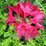 Pink Rhodenndron