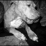 my loving pitbull, kira