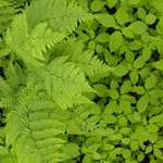 Ferns and Jewelweed