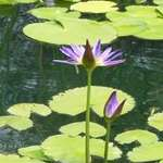 Purple Water Flower