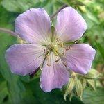 lilac Cranesbill Geranium
