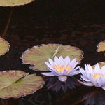 Pond lilies