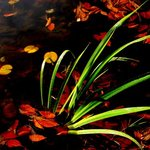 Pond Foliage