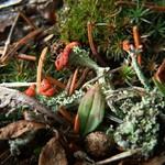 Lowes Creek Lichen