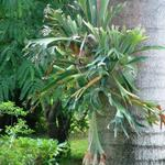 Staghorn Plant