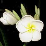 Plumeria Bloom