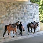 Police Horses, heading to stables in Stanley Park at days end