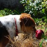 Pongo sniffing the hay