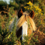 Pony in Gorse Bush