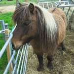 Shetland pony