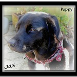 Poppy A Black And White Labrador, Collie Cross