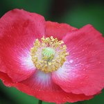 Poppy and Dewdrops