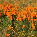 California Poppy's
