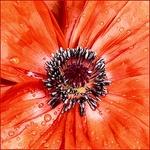 Mandatory Poppy Macro_V2