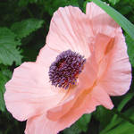 Poppy - crinkly satiny newness
