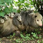 Possum Babies