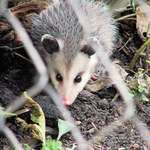 Baby Possum
