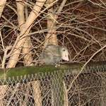 Possum on Fence 1