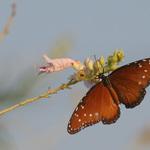 Pretty Brown Butterfly