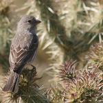 Pretty Brown Finch