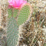 Prickly Pear Cactus With Bloom