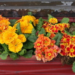 Primulas in Windowbox planter