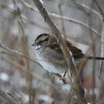puffywhite throated sparrow
